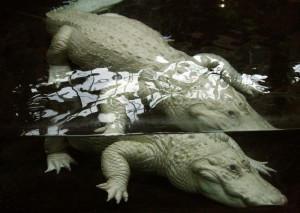 feher-krokodil-new-orleans-eifert-8544