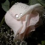 Rózsa-könnyezik-3491