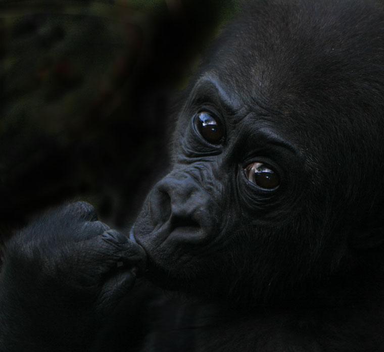 Bongo, a kis gorilla (Photo: Eifert János)