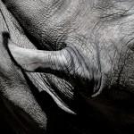 Szélesszájú-Orrszarvú