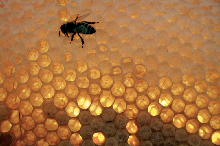 Méh a kaptár keretén (Photo: Eifert János)