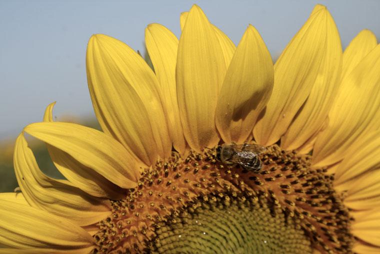 Napraforgó méhekkel (Photo: Eifert János)
