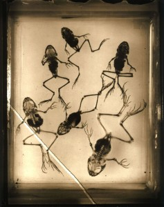 Kerekes Gábor: Frogs