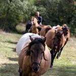 Itatásból visszatérő lovak - Kismaros-Börzsönyliget, 2015.09.20. (Eifert János felvétele)