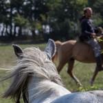 Gazdája felé figyelő ló - Kismaros-Börzsönyliget, 2015.09.20. (Eifert János felvétele)