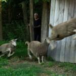 2016.08.28.-Valkonya-Eifert-meghajtja-a-birkákat (Olasz Ági felvétele)