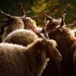 2016.09.12.-Bocska-Racka-juhok a Vigh-tanyán (Eifert János felvétele)