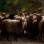 2016.09.12.-Bocska-Racka-juhok (Eifert János felvétele)