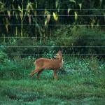 2016.09.13.-Szentliszló-Őzgida-a-villany-pásztorral-őrzött-kukoricásnál-01 (Eifert János felvétele)