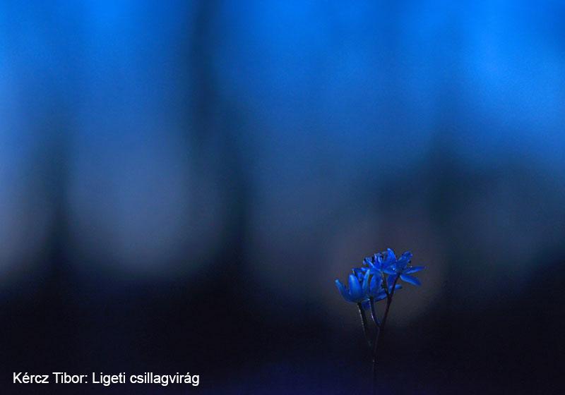 Kércz-Tibor_Ligeti-csillagvirág