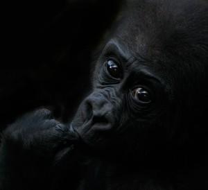 Eifert János: Bongo, a kis gorilla rabságban (2011)