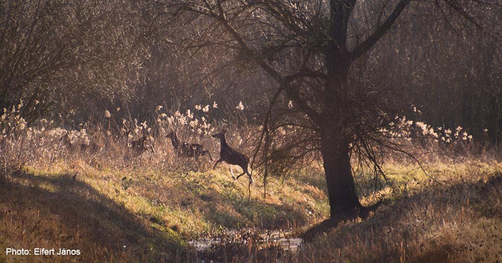 2016.12.30.-Őzek, vagy szarvasborjúk a Válicka-pataknál (Eifert János felvétele)