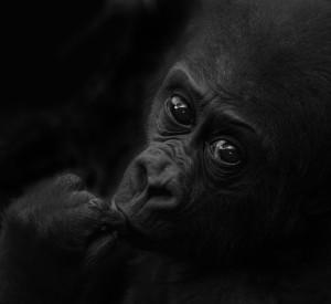 Eifrert János: Bongo, a kis gorilla / Bongo, the little gorilla