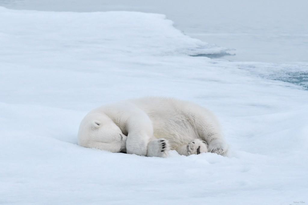 Jegesmedve, Északi-sarkvidék