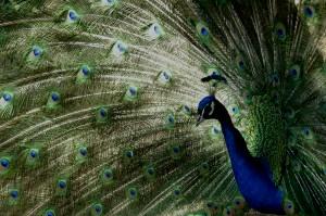 Eifert János: Páva / Peacock